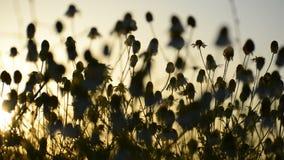 Chamomille del Matricaria en racimos aromáticos florecientes de flores de cabezas acechadas largas en luz del sol almacen de video