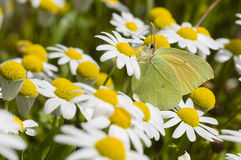 Chamomille flower field with butterfly Royalty Free Stock Photography