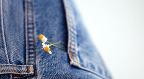 Chamomille flowers in blue jeans denim pocket Royalty Free Stock Photography