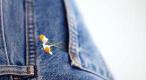 Chamomille kwitnie w niebiescy dżinsy drelichu kieszeni Fotografia Royalty Free