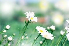 Chamomilles в пирофакеле солнца лето сада цветков цветения красивейший лужок Summ Стоковые Изображения RF