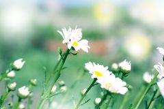 Chamomilles in sun flare. Summer flowers. Beautiful meadow. Summer background. Chamomile field flowers border. Beautiful nature scene with blooming medical royalty free stock images