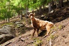 Chamonix ibex Royalty Free Stock Photos