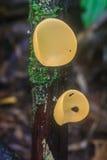 Champán prolifera rápidamente (la taza de los hongos) Imagen de archivo