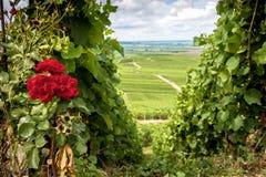 Champán, viñedo en las colinas con las rosas rojas cerca de Vernezay En el fondo el llano con los viñedos francia Fotos de archivo