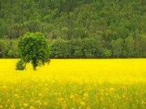 Champ abandonné de jaune d'arbre au printemps des viols de floraison, la colline sur l'horizon Photographie stock libre de droits