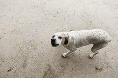 Champ attentif de chien Images libres de droits