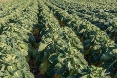 Champ avec brassica oleracea de choux de bruxelles photo libre de droits