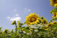 Champ avec des tournesols contre le ciel bleu photographie stock libre de droits