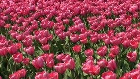 Champ avec des tulipes. banque de vidéos