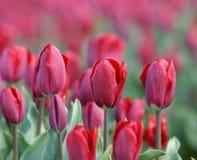 Champ avec des tulipes de Hollande Photo stock