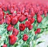 Champ avec des tulipes de Hollande Images stock