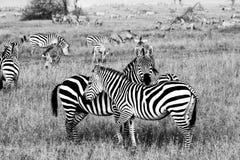 Champ avec des zèbres dans Serengeti, Tanzanie Image stock