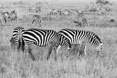 Champ avec des zèbres dans Serengeti, Tanzanie Image libre de droits