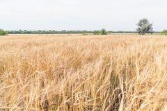 Champ avec du blé photographie stock libre de droits