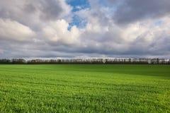 Champ avec du bl? vert et le ciel dramatique image libre de droits