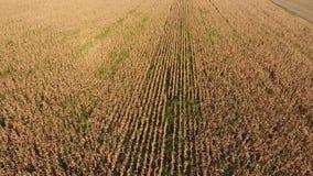 Champ avec du maïs mûr Tiges sèches de maïs Vue du champ de maïs d'en haut La plantation de maïs, épis mûrs, préparent pour moiss banque de vidéos