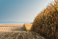 Champ avec du maïs mûr Photos libres de droits