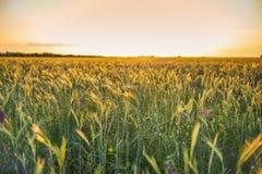 Champ avec le grain de blé au coucher du soleil images stock