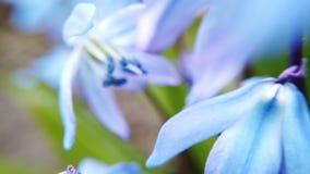Champ avec le scylla bleu de fleurs banque de vidéos