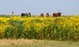 Champ avec les fleurs jaunes. Vaches dans le pâturage. Photos libres de droits