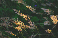 Champ avec les herbes sauvages au coucher du soleil Foyer sélectif, fond brouillé, vue horizontale Photo stock