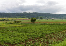 Champ avec les plantes de pomme de terre vertes Photo stock
