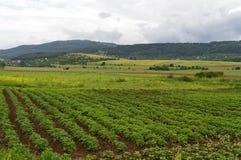 Champ avec les plantes de pomme de terre vertes Image libre de droits