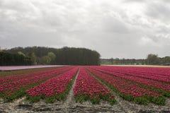 Champ avec les tulipes rouges Photographie stock