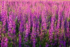 Champ coloré d'été scénique des fleurs sauvages pourpres photos libres de droits