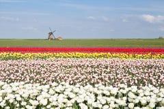 Champ coloré de tulipe et moulin à vent néerlandais au printemps images stock