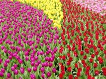 Champ coloré de tulipes avec les feuilles vertes Photographie stock libre de droits