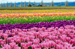 Champ color? des rang?es des tulipes photos libres de droits