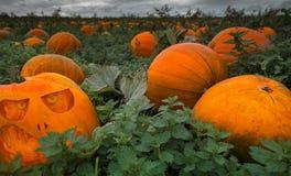 Champ complètement des potirons - sélectionnez vos propres moyens pour Halloween Photos libres de droits