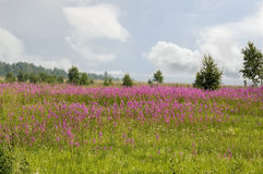 Champ d'épilobe de floraison Paysage d'ÉTÉ La Sibérie orientale Photo stock