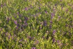 Champ d'été avec les fleurs violettes sauvages images libres de droits