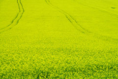 Champ d'agriculture jaune de graine de colza Images stock