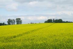 Champ d'agriculture jaune de graine de colza Image libre de droits