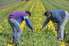Champ d'ampoule avec les tulipes et les récolteuses colorées d'ampoules Photos libres de droits
