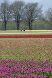 Champ d'ampoule avec les tulipes et les récolteuses colorées d'ampoules Photo stock