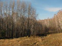 Champ d'automne avec des arbres de bouleau Photos libres de droits