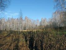 Champ d'automne avec des arbres de bouleau Images libres de droits