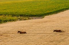 Champ d'automne avec des chevaux et des fils ?lectriques photographie stock