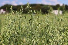 Champ d'avoine Maturation du secteur agraire de future récolte de l'industrie agricole Ferme d'usine Élevage des cultures de céré Images stock