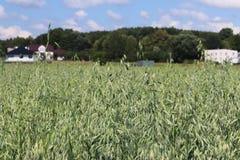 Champ d'avoine Maturation du secteur agraire de future récolte de l'industrie agricole Ferme d'usine Élevage des cultures de céré Image libre de droits