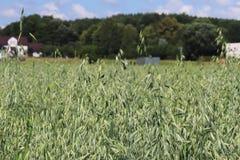 Champ d'avoine Maturation du secteur agraire de future récolte de l'industrie agricole Ferme d'usine Élevage des cultures de céré Photographie stock