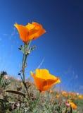 Champ d'or de pavot de la Californie, la Californie, Etats-Unis Photos stock