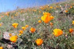 Champ d'or de pavot de la Californie, la Californie, Etats-Unis Photos libres de droits