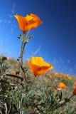 Champ d'or de pavot de la Californie, la Californie, Etats-Unis Photo stock
