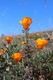 Champ d'or de pavot de la Californie, la Californie, Etats-Unis Images libres de droits
